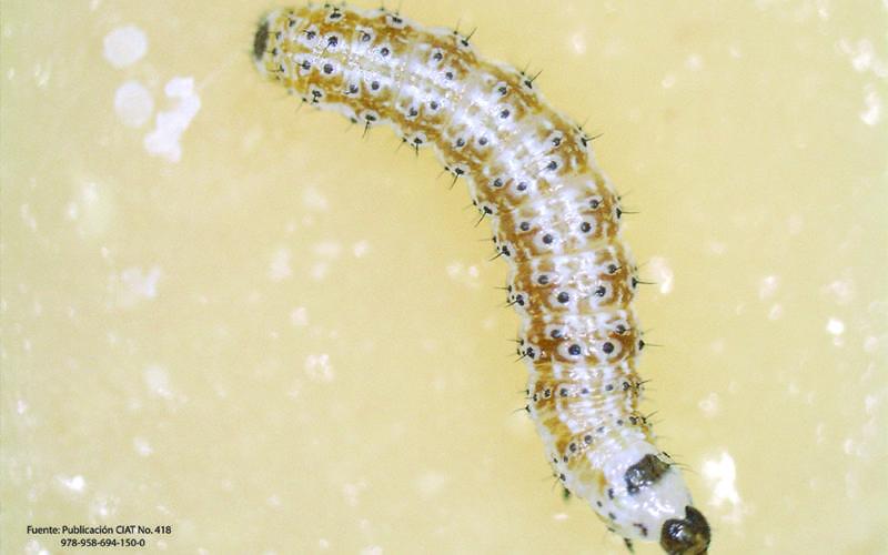 Gusano elotero (Helicoverpa zea) – Estadio larval 2 temprano (L2) La larva se va tornando de color marrón en todo su cuerpo.